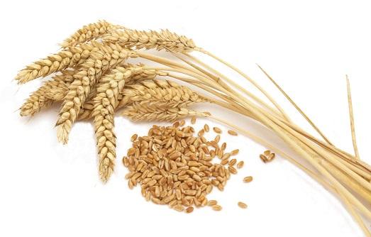 Чем полезна пророщенная пшеница?