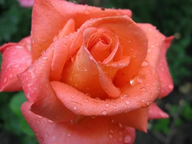 Чайная роза — изысканная жемчужина сада