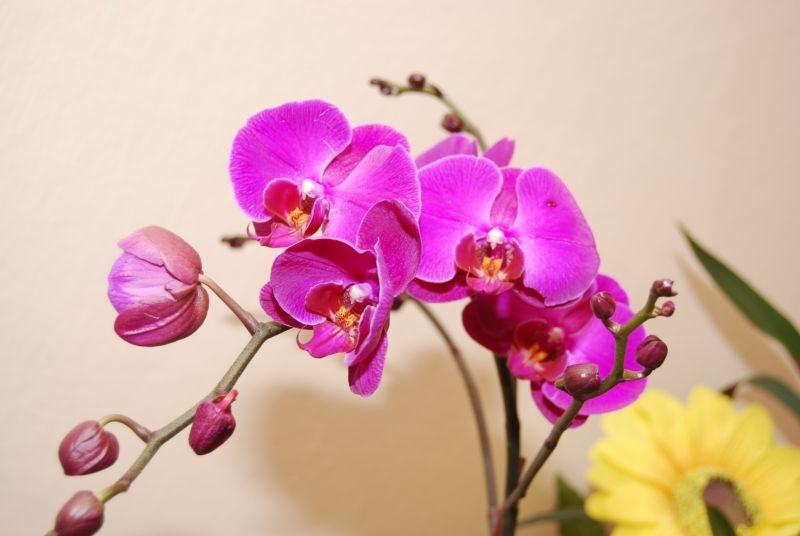 Цветы орхидеи фаленопсис в вашем доме