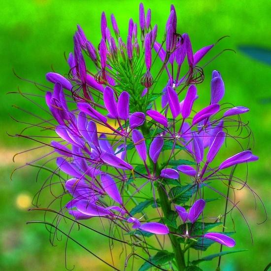 Растение-паук или чем еще так примечательна клеома?