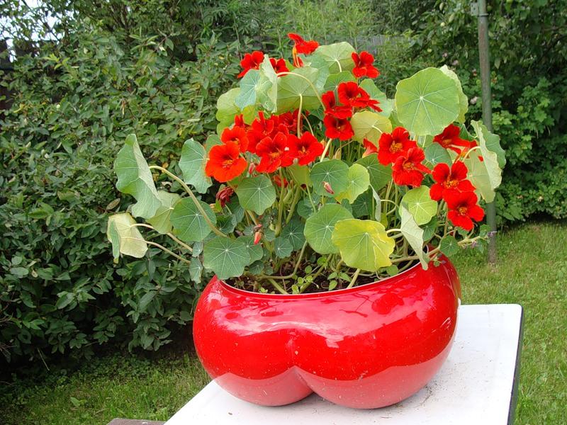 Украшаем сад с настурцией