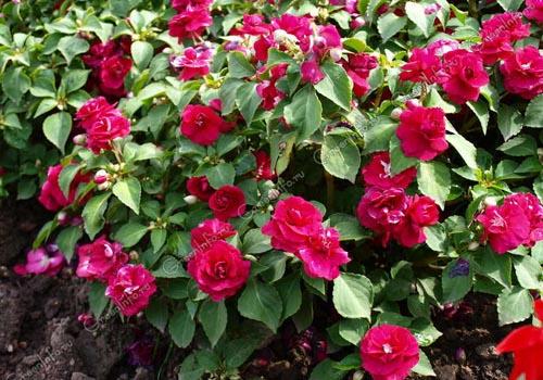 Бальзамин садовый: выращивание