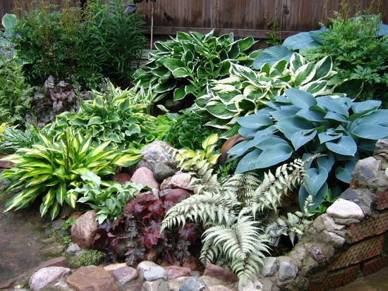 Красивая хоста в вашем саду