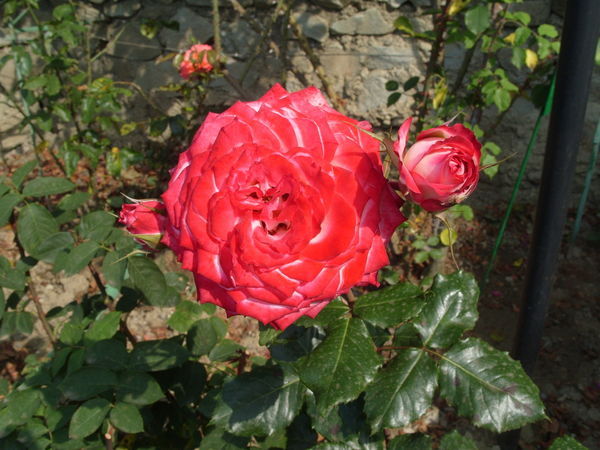 Зелёную дорогу отечественным сортам роз