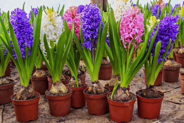 Как заставить тюльпаны цвести средь зимы